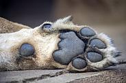 Lions (Panthera Leo) feet