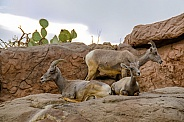 Bighorn Sheep - Ewes and Lamb