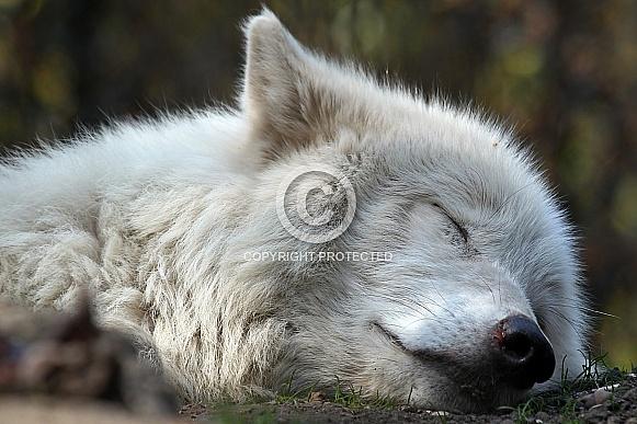 Hudson Bay Wolf
