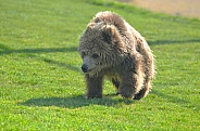 Wet Grizzly Bear Cub