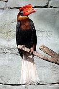 Rufous hornbill (Buceros hydrocorax)