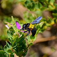 Female Carpenter Bee