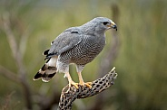 Gray Hawk Perched on Cactus Branch