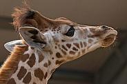 Young Kordofan Giraffe Face Shot