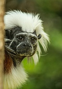 Cotton Top Tamarin (Saguinus oedipus)