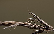 Egyptian Mantis