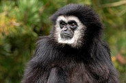 Lar Gibbon Looking Sideways