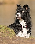 Border Collie in Pond