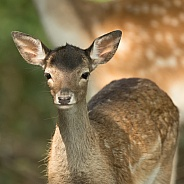 Young Fallow Deer