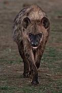 Hyena with attitude