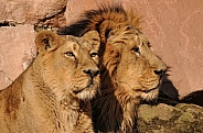 asiatic Lion Family