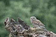 Little Owl in the Rain