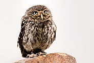 Little Owl Full Body On White Background