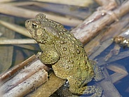 Toad in Pond