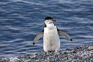 Chinstrap Penguin - South Shetland Islands - Antarctica
