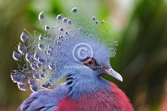 Victoria Crowned Pidgeon
