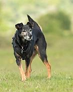 Elderly Terrier