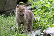 Hudson Bay Wolf pup