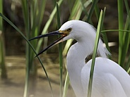 Snowy Egret in a Swamp in Nevada
