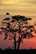 Tree at dusk - Khwai River in Botswana