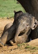 Young Asian Elelphant