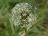Dandelion seed head, partial