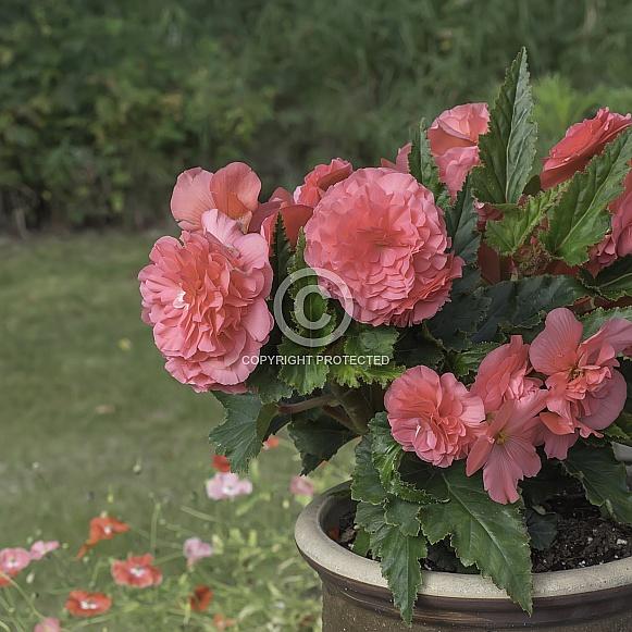 Pink Begonia Bouquet Closeup