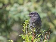 Juvenile Gray Jay