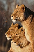 African lionesses in the evening sun