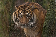 Sumatran Tiger Looking Out From Behind A Tree