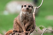 Meerkat Sitting On Branch