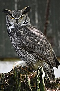 American Eagle Owl