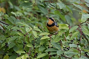 Varied Thrush in Alaska