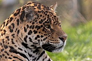 Jaguar Close Up Side Profile