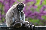 Brown spider monkey with Blue eye