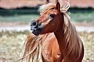 Shetland Pony Calling Out