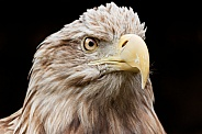 White Tailed Fish Eagle Face Shot