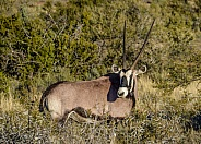 Gemsbok portrait