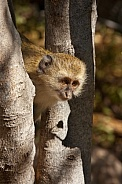 Vervet Monkey - Okavango Delta - Botswana