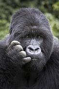 Gorilla, Silverback (Wild)