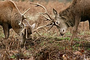 Red Deer stags rutting