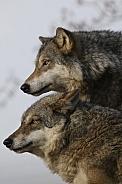 european wolf