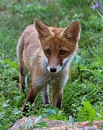 Young Fox 2