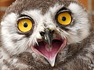 Snowy Owl chick