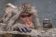 Snow monkey in hot spring