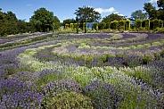 Yorkshire Lavender in a garden