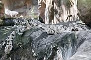 Snow leopard Siri