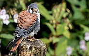 American kestrel Full Body On Tree Stump