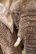 African Elephant Close Up Textured Skin