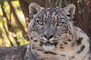 Snow Leopard Close Up Looking At Camera